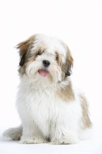 כלב מאולף